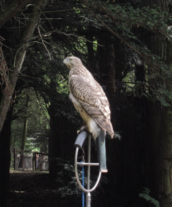 Tethered bird of prey